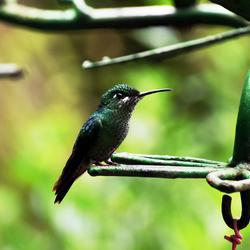Green-crowned Brilliant in Monteverde