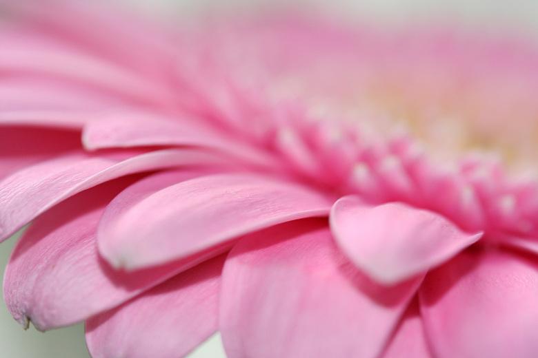 Roze gerbera - Geoefend met een geleende macrolens..
