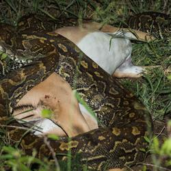 Python wurgt springbok