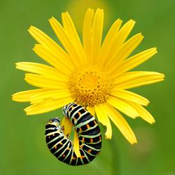 Papilio, machaon