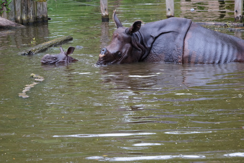 Neushoorns, moeder en kind