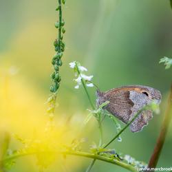 Hooibeestje Vlinder