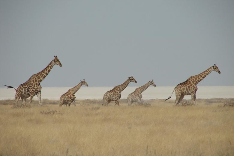 5 op een rij - Ook deze foto is genomen in Etosha, Namibië. Op de achtergrond is de ethosapan te zien.