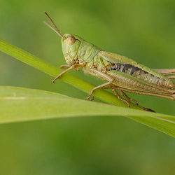 green hopper