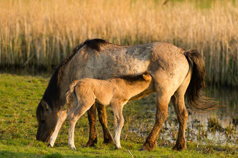 Moedermelk - Het veulen rende dartelend rond, maar nam toch een moment rust om de voedzame moedermelk tot zich te nemen.