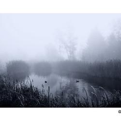 meerkoeten in mist