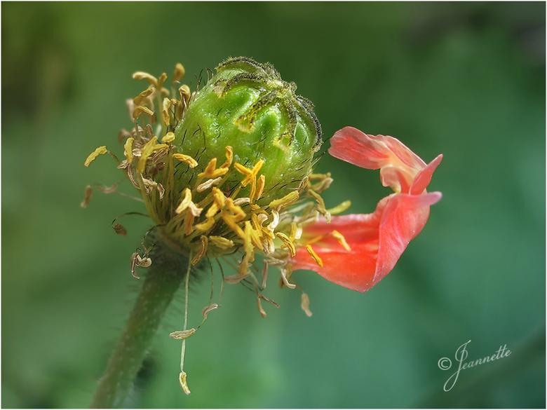 Eén voor één.......... - ......verliest deze kleine papaver haar bloemblaadjes, totdat ze ook afscheid moet nemen van het allerlaatste blaadje........