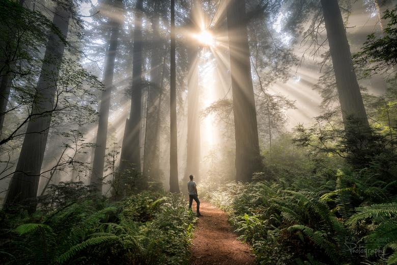 Portal to heaven - Een prachtige ochtend tussen de Redwoods. Veel van de bomen in dit bos zijn meer dan 100 meter hoog