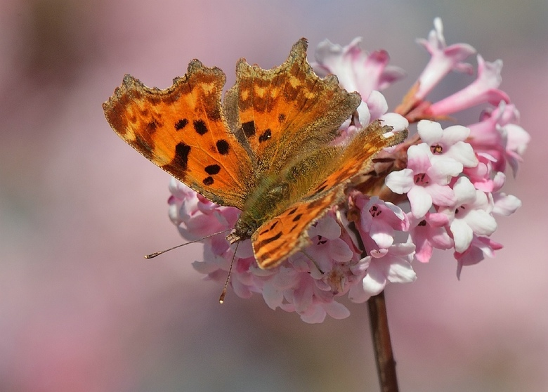 GEHAKKELDE AURELIA - Een genot om deze mooie dieren te mogen waarnemen en vastleggen...