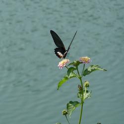 papilio polymnestor Nepal (1).jpg