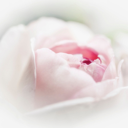 Mijn roosje mijn roosje