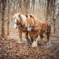 Stoere trekpaarden