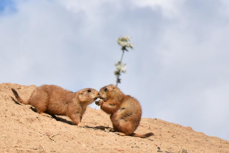 Prairiedogs Wildlands -