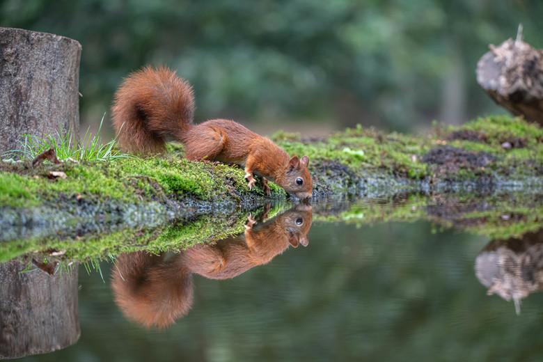 Squirrel - Ook eekhoorntjes hebben dorst...