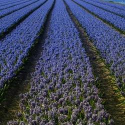 Hyacinthen_blauw.jpg