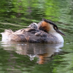 Op Moeders rug.