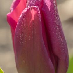 start van het tulpen seizoen; vroeger dan ooit dit jaar