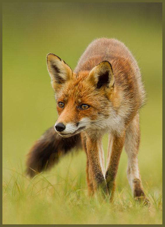 Cross Legged Fox - Na meer dan een jaar druk op zoek te zijn geweest naar een Vosje om vast te leggen, brengt dit jaar me meer geluk.<br /> Zelf vind