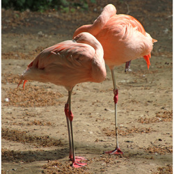 Flamingo's, elegant en sierlijk ...