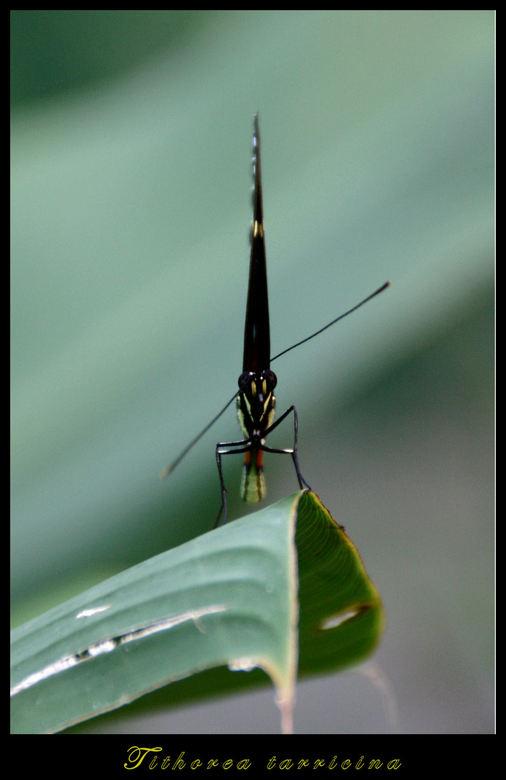 Tithorea - Mooie naam heefy deze vlinder. Hij/zij dwarrelde een beetje tussen de bloemen op tortuguero costa rica. En net als je denkt dat je een foto