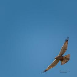 bruine kiekendief in volle vlucht