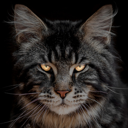 Maine Coon portret