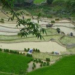 2012 Vietnam rijstvelden.JPG
