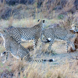 Cheeta's, The Three Brothers kill