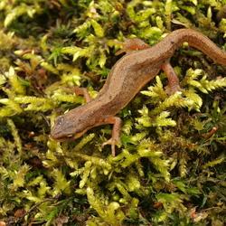 Kleine salamander