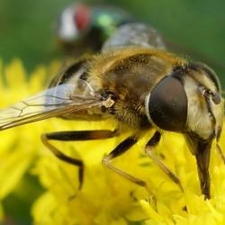 Etende zweefvlieg op bloem