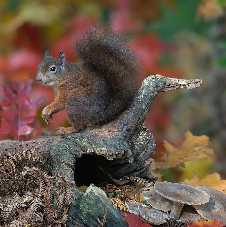 Eekhoorn in herfst sferen - Zo, eindelijk zal ik weer eens wat plaatsen hier. Jullie zien op Zoom veel foto's gemaakt uit een van mijn fotohutten