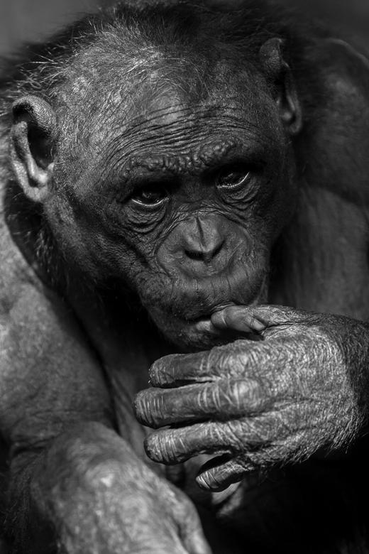 Bonobo. - Dit weekend gemaakt en ik vind hem zelf geweldig. Alsof ze voor mij poseert. En in het zwart wit is die voor mij helemaal af.
