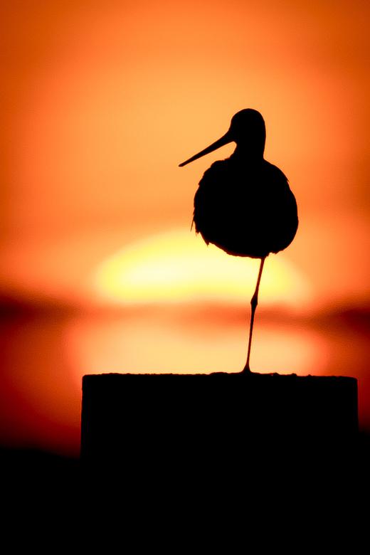 Grutto tijdens zonsondergang -