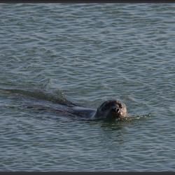 Zeehond in de vrije natuur