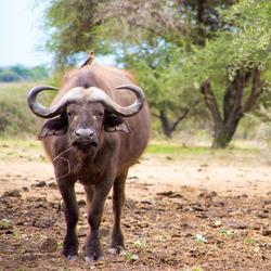Wollige buffel