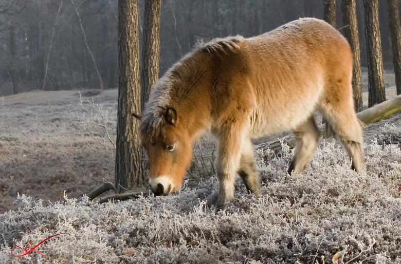 Grazend Paard -