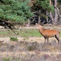 Burlend hert bij wildbaan op de Veluwe