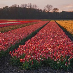 Pink-yellow-tulips