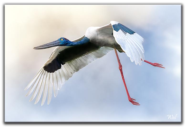 Birds Of India - De zwarthalsooievaar. Lijkt een vreemde benaming voor deze ooievaar, omdat hij een blauwe hals heeft.<br /> <br /> Bedankt voor jul
