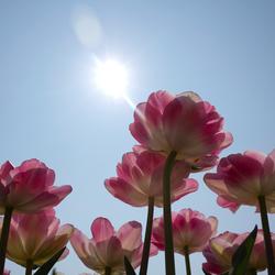 Tulpen van onderaf