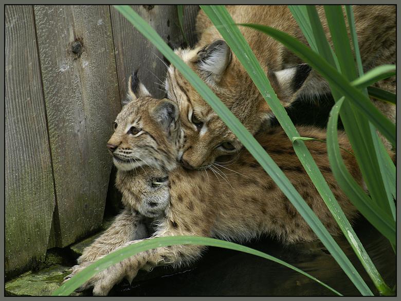 Moederliefde! - Deze jonge Lynx was onvoorzichtig en gleed uit in het water!<br /> De moeder was er als de kippen bij om hem uit zn benarde positie t