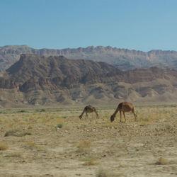 Wilde dromedarissen in steenwoestijn