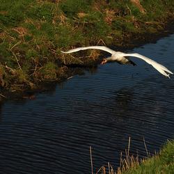 Zwaan in de polder