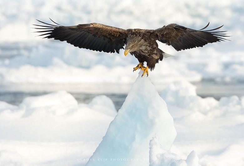 Op het topje van de ijsberg - Deze zeearend landde precies op het puntje van de ijsberg.