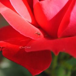 Roos met mier.