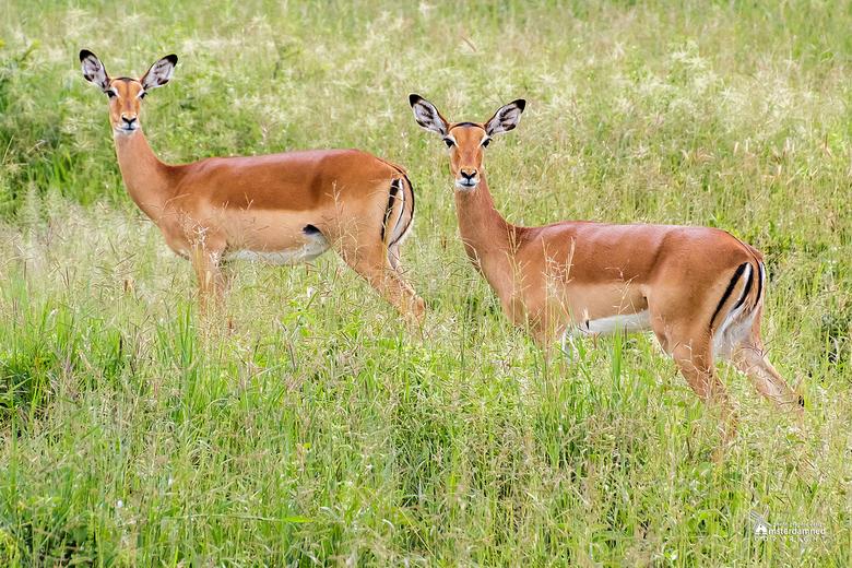 Tanzania - Het Tarangire National Park ligt in het noorden van Tanzania in het district Manyara. Tijdens safari deze twee impala wijfjes (Aepyceros me