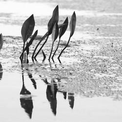 Dutch Mangrove