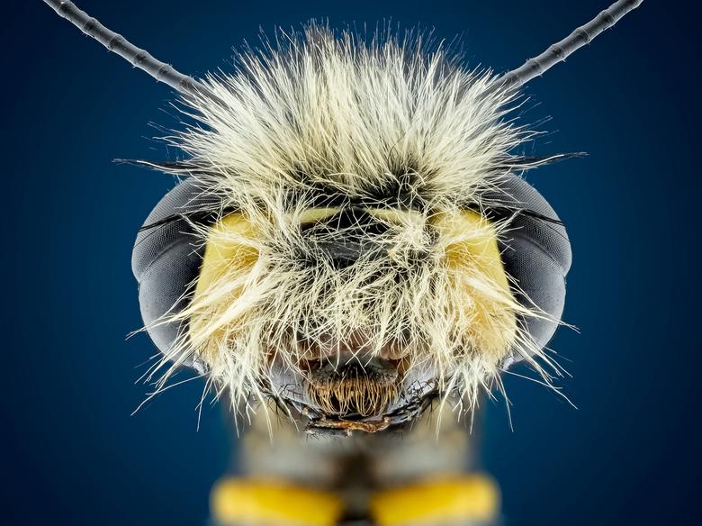 Owlfly - ik heb ca 105 fotos gestacked van deze mooie Owlfly met de canonmpe65mm daarna samengevoegd in zerenestacker en afgewerkt in photoshop ..<br
