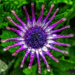 Regendruppels op een kleurrijke bloem
