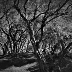 olijfbomen op Corfu (2)